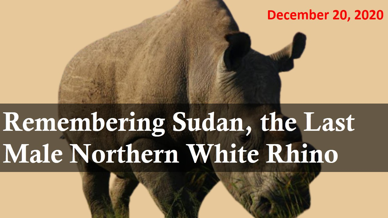 Remembering Sudan, the Last Male Northern White Rhino